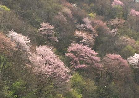 2016-04-25  戸赤の桜.jpg